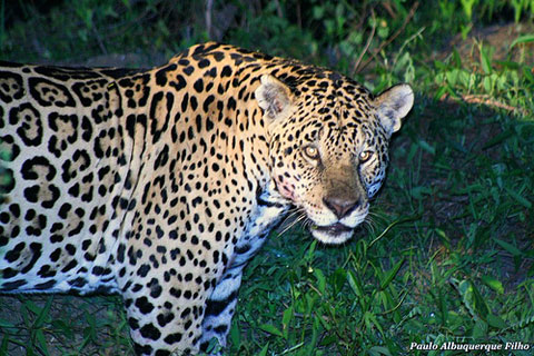 Jaguar Watching