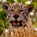 jaguar_watching